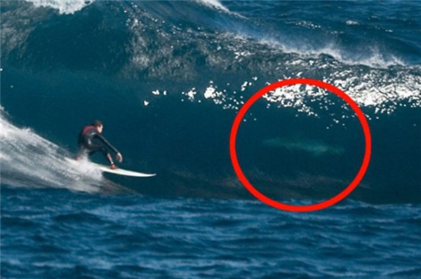 """Cá mập trắng khổng lồ với chiều dài trên 6m và cân nặng hơn 3.000kg là """"bạn thân"""" của người Úc từ bao đời nay."""