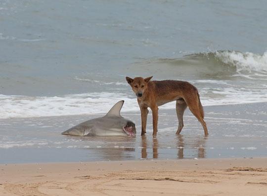 Nhưng nếu không cẩn thận, chúng sẽ mất mạng bởi lũ chó Dingo, một loài chó hoang rất hung dữ chỉ có thể được tìm thấy ở đất nước này.