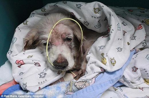 Sau khi đưa đi khám, các bác sĩ thú y khẳng định chú chó này bị suy dinh dưỡng trầm trọng vì không có chế độ ăn uống đầy đủ và cân bằng trong một thời gian dài.
