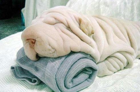 Giống chó nhăn nheo nhất thế giới nhưng đáng yêu cực độ