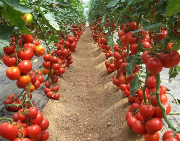 Những vườn cà chua đỏ xinh xinh