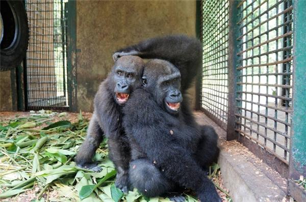 Ngay trong ngày đầu tiên gặp mặt, hai chú khỉ bỗng ôm chầm lấy nhau mừng rỡ.