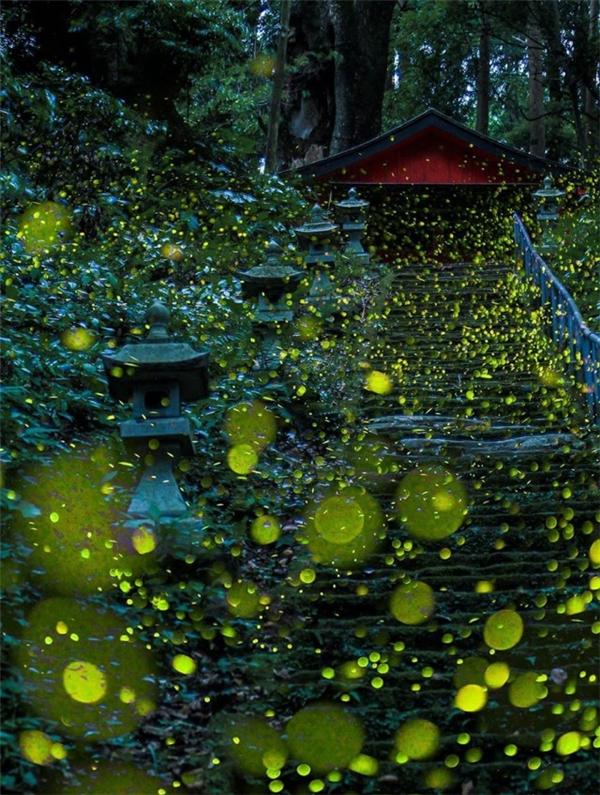 Thưởng thức đại tiệc ánh sáng siêu lung linh của hàng triệu đom đóm