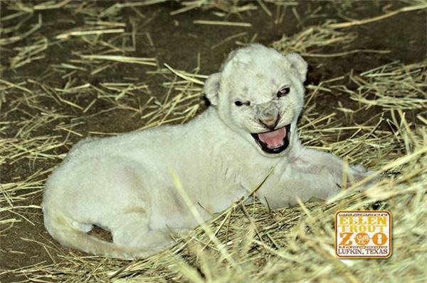 Việc chú sư tử trắng này chào đời là một điều hết sức bất ngờ.