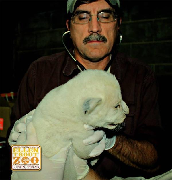 Hiện tại mẹ con chú sư tử trắng này được chăm sóc rất đặc biệt.