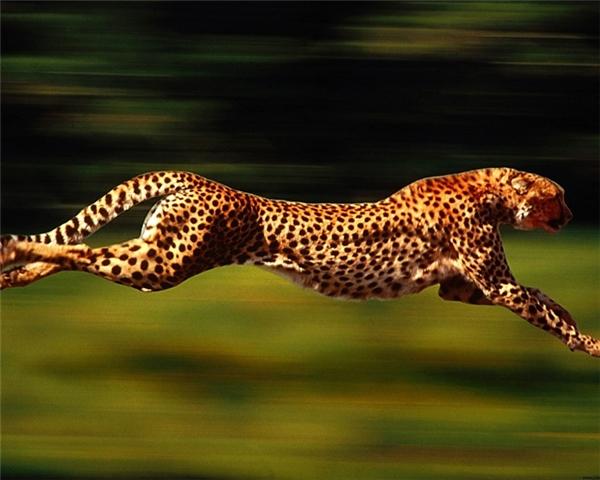 Trong một cuộc săn mồi, nhịp tim của báo đốm là 150 nhịp trong một phút vàvận tốc trung bình là 96-104km/h. Đặc biệtsải chân của loài báo này có thể đạt đến 8m.