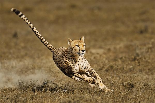 Đuôi của báo đốm Cheetah được sử dụng như một bánh lái,góp phần giữ thăng bằng và chuyển hướngtrong suốt quá trình chúng chạy hoặc săn đuổi con mồi.