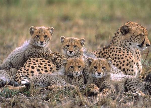 Với báo mẹ, mối nguy hiểm thực sự không phải là bị giết mà là bị mất các con. Theo thống kê, có tới 95% báo con chết trước khi trưởng thành, do linh cẩu hoặc sư tử ăn thịt. Báo mẹ thường đối phó bằng cách di chuyển liên tục, để kẻ thù không thể biết chúng ở đâu.