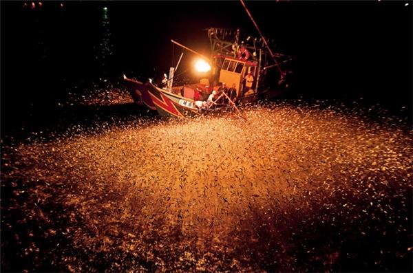 Mùa đánh cá bằng lửa chỉ diễn ra trong 3 tháng. Những con thuyền ra biển giữa đêm, sử dụng thanh tre phủ đất tẩm sulfuric để đốt lửa.