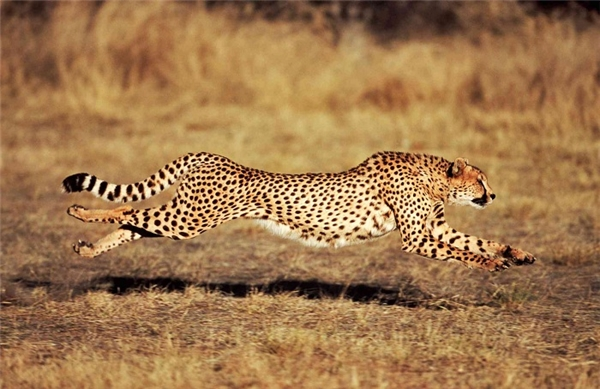 Loài báo Cheetah là một trong bốn loài lớn nhất của họ nhà mèo, sống ở Châu Phi và Trung Đông. Có tên khoa học là Acinonyx Jubatus. Một con báo Cheetah có cân nặng trung bình khoảng 72kg, dài từ 1.5m – 2m.