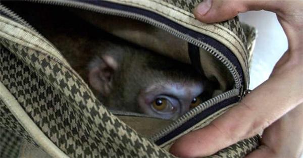Xót xa chú khỉ bị xích và bỏ rơi trong túi xách