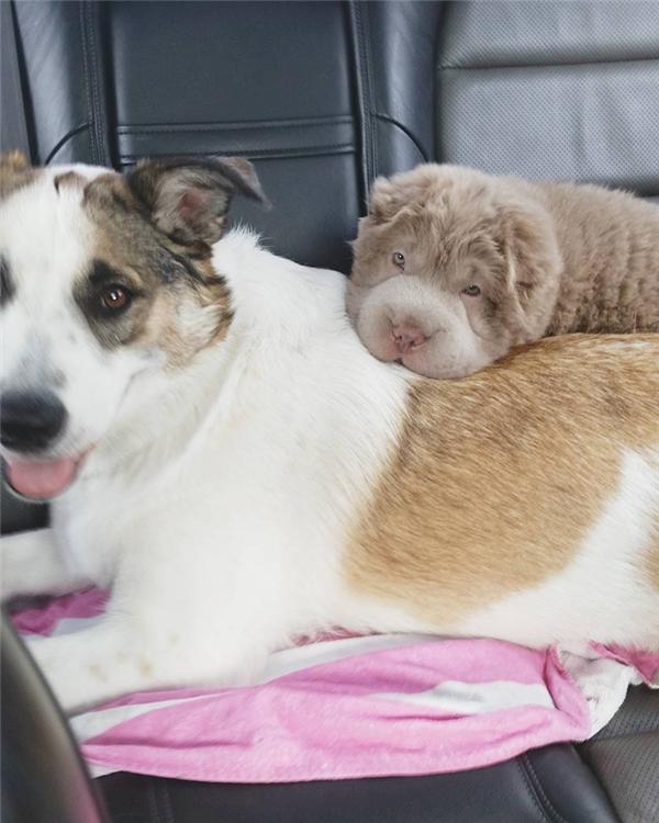 Người khó tính nhất cũng tan chảy trước bé gấu Teddy phiên bản cún