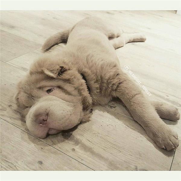 Đầu to nặng quá nên phải thường xuyên nằm lăn ra nghỉ vậy đấy, khổ lắm.
