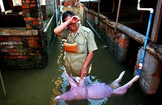 """Một ngườinông dân """"ôm heo"""" khóc thương cho số phận của mình sau cơn mưa lũ. Mưa lớn kéo dài ở Hà Bắc từ ngày 19 đến 21/7 khiến ít nhất 154 người thiệt mạng, 124 người mất tích. Trận ngập lụt này khiến 72.000 người mất nhà và tổng số thiệt hại về kinh tế lên đến hơn3 tỉ USD (khoảng 67 ngàn tỉ đồng)."""
