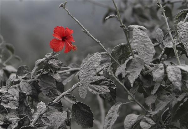 Không phải do photoshop đâu. Chỉ vì cây ở đây bị bao phủ bởi bụi sau khi núi lửa phun trào.