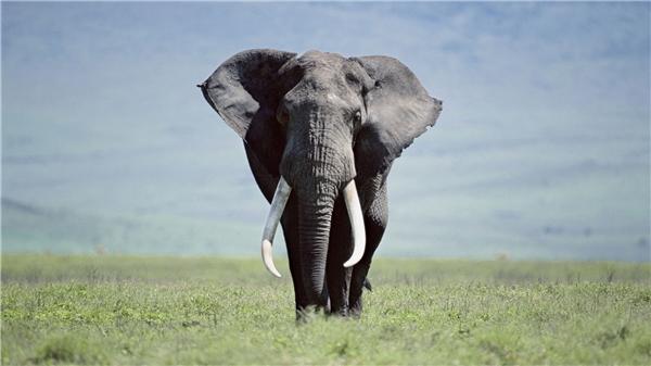 Nhói lòng với sự thật đằng sau màn tiêu hủy ngà voi quý giá