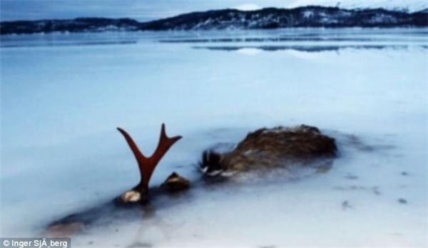 Con hươu này cùn đã bị đóng băng toàn bộ thân thể chỉ để lộ chiếc sừng.