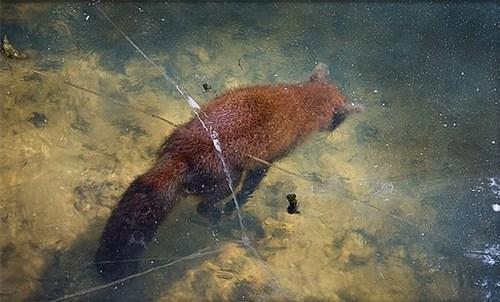 Những chú cáo này đã bị trượt chân xuống hồ và không kịp ngoi lên vì bão tuyết đến quá nhanh.