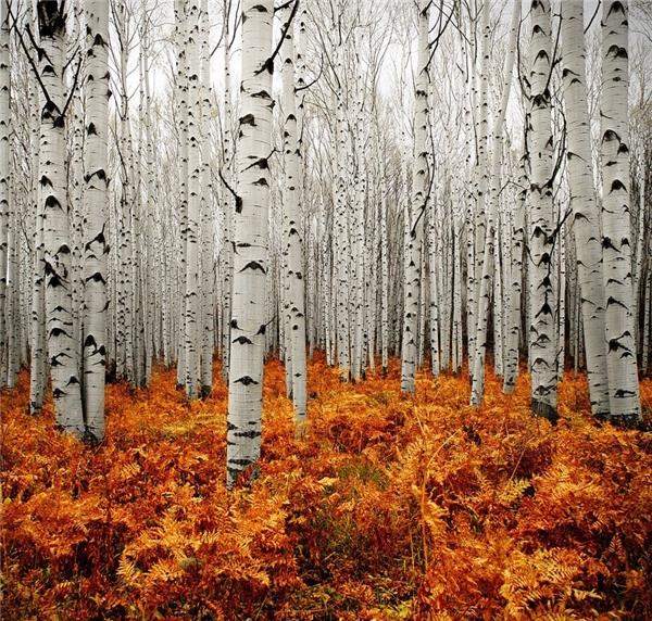 Thị trấnRocky Mountain thuộc thành phố Aspen, tiểu bang Colorado thu hút hàng ngàn lượt khách du lịch trên khắp thế giới đến chứng kiến cảnh sắc tuyệt vời của Rừng bạc quyến rũ. Những cây bạch dương thân bạc dường như nổi bật hơn trên nền lá vàng mùa thu trải dàidưới chân. Sẽ thật uổng phí nếu bỏ lỡ bức tranh ấn tượngđược chấp bút bởi thiên nhiên này.