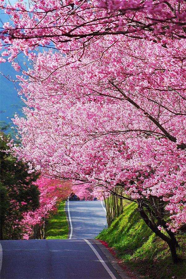 Bênh cạnhNhật Bản, mùa hoa anh đào ở miền bắc Đài Loan cũng thu hút du hút nhiều lượtkhách bởi vẻ đẹp thơ mộng của nó.Công viên Quốc gia YangmingshanởĐài Bắc là một địa điểmngắm hoa anh đào rất được ưa chuộng. Ngoài ra, hoa sẽ nở tập trung ở một số điểm du lịch bên trong thành phố.Khoảnh khắc khi khắp cả đất trời như nhuộm hồng bởihoa anh đào đang bung nở khiến bao ngườinao lòng.