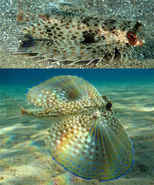 Cá chào mào, hay còn gọi là cá bướm, với hai chiếc vây khi xòe rộng trông hệt nhưcánh bướm đầy màu sắc