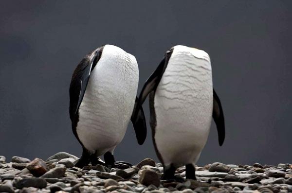 Khoảnh khắc những chú chim cánh cụt giấu mất đầu.