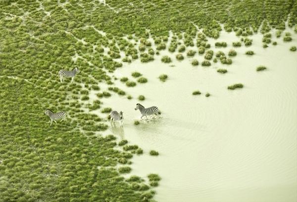 Những chú ngựa vằn đang nô đùa trên một vùng đầm lầy cỏ mọc như dệt gấm ở châu Phi.