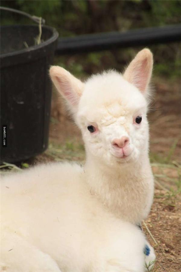 Chiếc miệng chúm chím hồng hồng với đôi mắt to tròn ngơ ngác khiến bé lạc đà đáng yêu đến lạ.