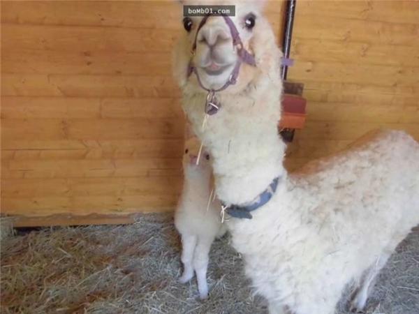 Chú lạc đà ngại ngùng nấp sau lưng mẹ.