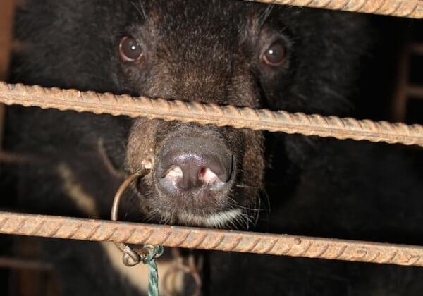 Các gánh xiếc xỏ một thanh kim loại qua mũi những con gấu mà không có biện pháp gây tê nào.