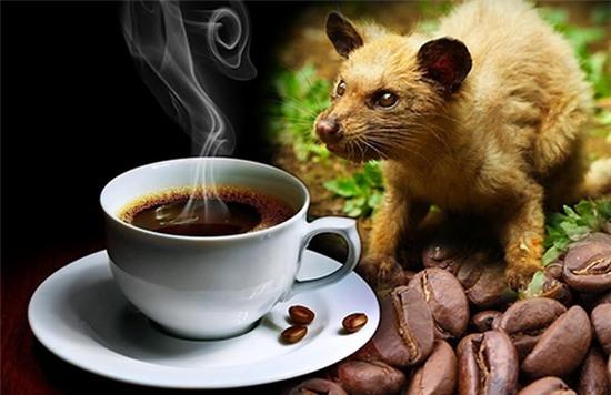 Cà phê chồn mang hương vị đặc trưng và là thức uống đắt nhất nhì thế giới.