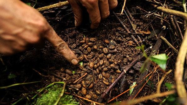Số lượng cà phê chồn lấy từ tự nhiên rất ít.