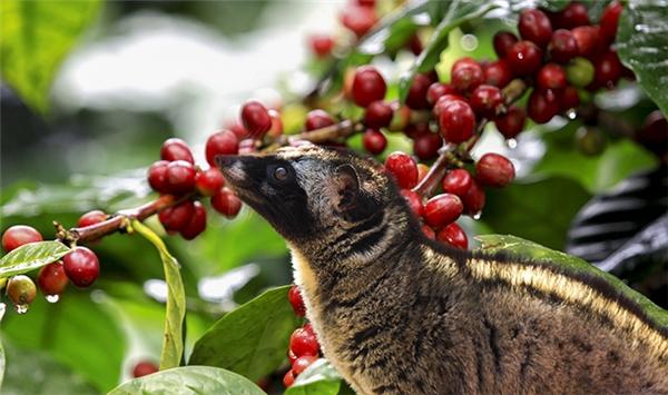 """Các chú chồn thường chọn những quả cà phê đỏ mọng và chín đều nhất để """"thưởng thức""""."""