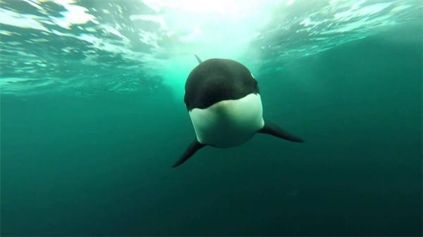 Bạn sẽ làm gì khi có một con cá voi sát thủ không biết từ đâu lao tới tấn công mình?