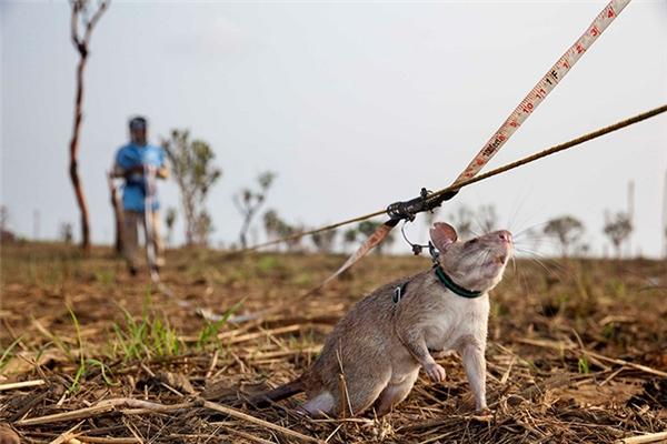 Chuột được huấn luyện để dò bom mìn.(Ảnh: Internet)
