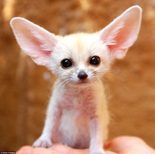 Loài cáo quý hiếm này chỉ được phát hiện trên sa mạc Sahara, Châu Phi. (Nguồn: Daily Mail)