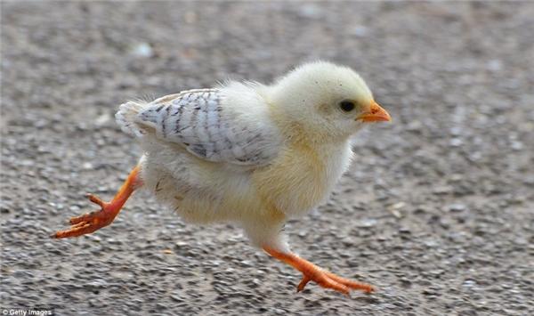Gà con đáng yêu tung tăng chạy trên đường. Bộ lông của nó sẽ thay đổi hoàn toàn khi trưởng thành. (Nguồn: Daily Mail)