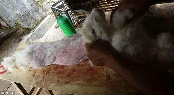 Những con vật đáng thươngsau khi cạo sạch lông chỉ còn lớp da đỏ hỏn, máu vương vãi đầytrên ghế.
