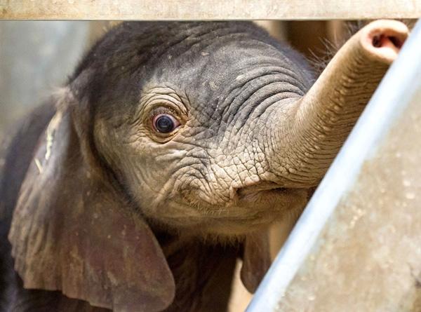 Một bé voi đực đang nhìn ra từ chuồng của mình. Chú voi này được sinh ra vào ngày 3 tháng 8 và nặng 105kg.