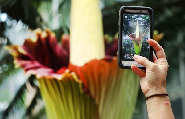 Một người đã đếnVườn Bách thảo Hoa Kỳ tại Washington, DC, để chụp một bức ảnh hoaTitan Arum, còn gọi là hoa xác chết. Loại thực vật này có nguồn gốc từSumatra, Indonesia và là loại hoa không cành lớn nhất thế giới. Nó bốc ra mùi hôi thối khủng khiếp trong 24-28 giờ nở trước khi tàn. Loài hoa xác chết này chỉ nở 7-10 năm một lần.