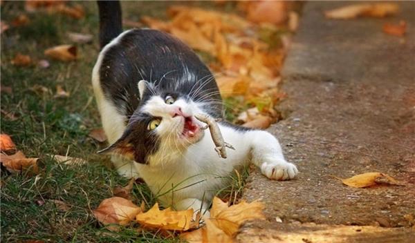 """4. Thằn lằn mất đuôi lại sắp rơi vào miệng mèo, một khoảnh khắc vô cùng """"đắt giá""""."""