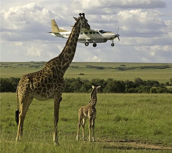 6. Hươu cao cổ ăn máy bay? Làm gì có chuyện đó, chỉ là người chụp bắt được góc quá đẹp.