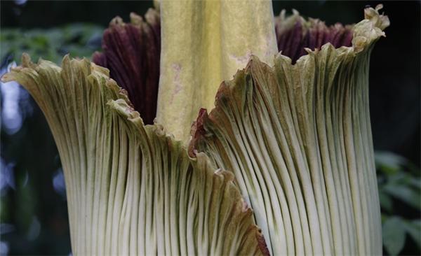 Đổ xô đi xếp hàng để được ngửi hoa xác chết 80 năm mới nở 1 lần