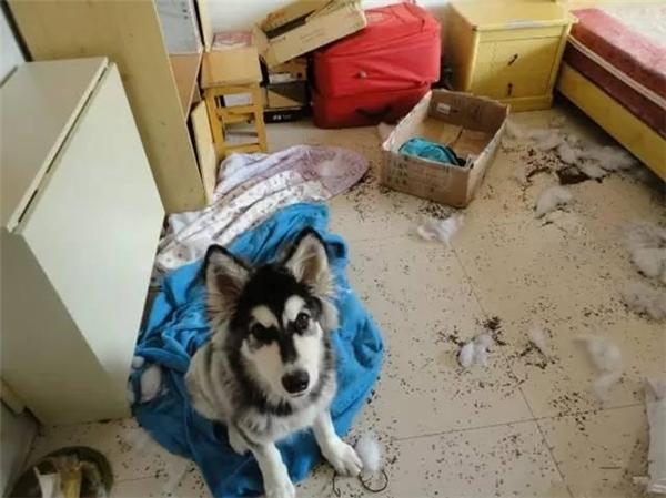 Làm Husky, không quậy banh nhà thì biết làm gì bây giờ?