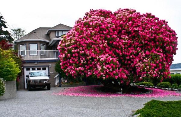 Loại cây đỗ quyên này xuất hiện nhiều ở Vancouver, Canada, nhưng đâylà một trong những cây đặc biệt nhấtvới tuổi đời hơn125 năm được trồng trước mộtngôi nhà ở Ladysmith vàcao đến7,6 mét. Ngoài ra, những tán cây vươn ra có chỗrộng đến9 mét, tạo nên không gian vui chơi và cắm trại vô cùng lý tưởng bên dưới.(Ảnh: Internet)