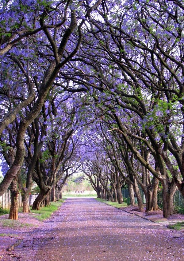Hàng cây phượngJacaranda vẽ nên một khoảng trời màu tím không thể thơ mộng và lãng mạnhơnở Cullinan, Nam Phi.(Ảnh: Internet)