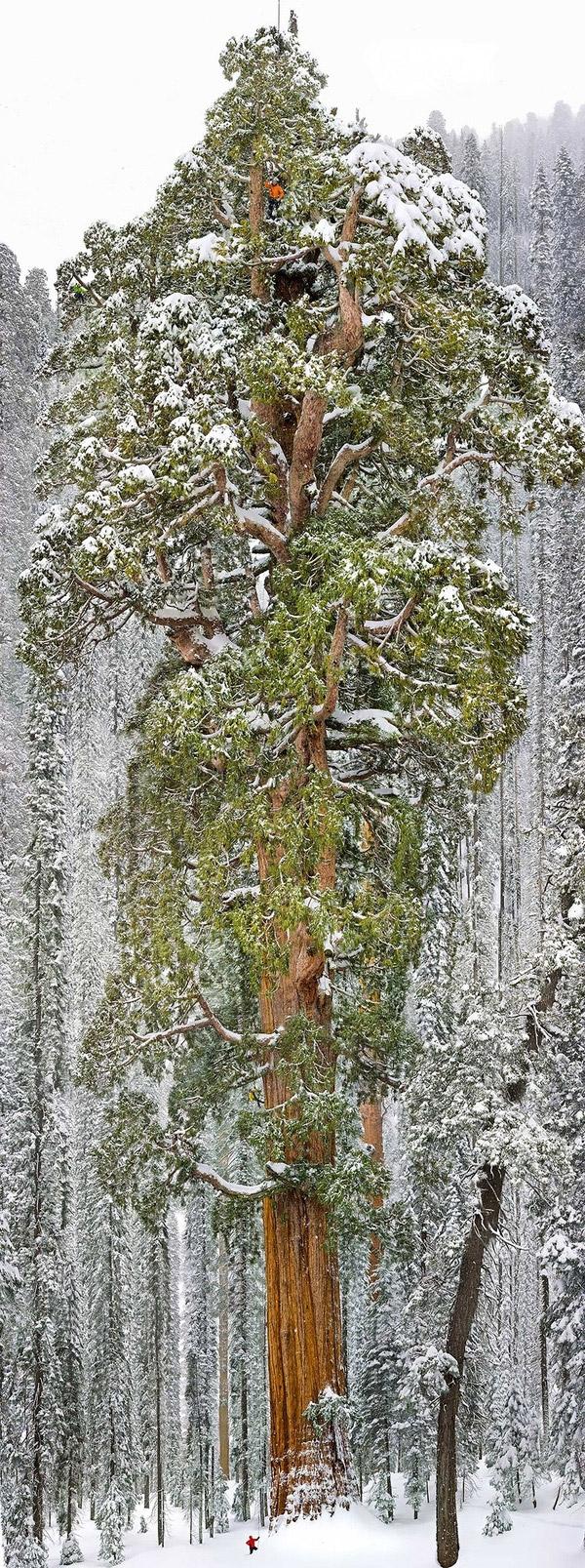 Cây Sequoia là loài cây cao nhất nhì trong giới thực vật. Riêng cây này cóchiều cao 73 mét vàđường kính rộng nhất 28 mét. Được biết,đây là cây Sequoia lớn thứ 3 trên thế giới.(Ảnh: Internet)