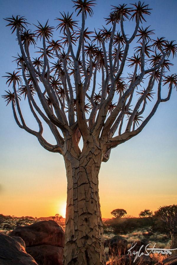 """Hình hài kì lạ củaloài cây """"rung động"""" ở Namibia này có gì đó rất đặc biệt, khiến bạn cảm thấy vô cùng phấn khích như đang bước vào một thế giới khác. (Ảnh: Internet)"""