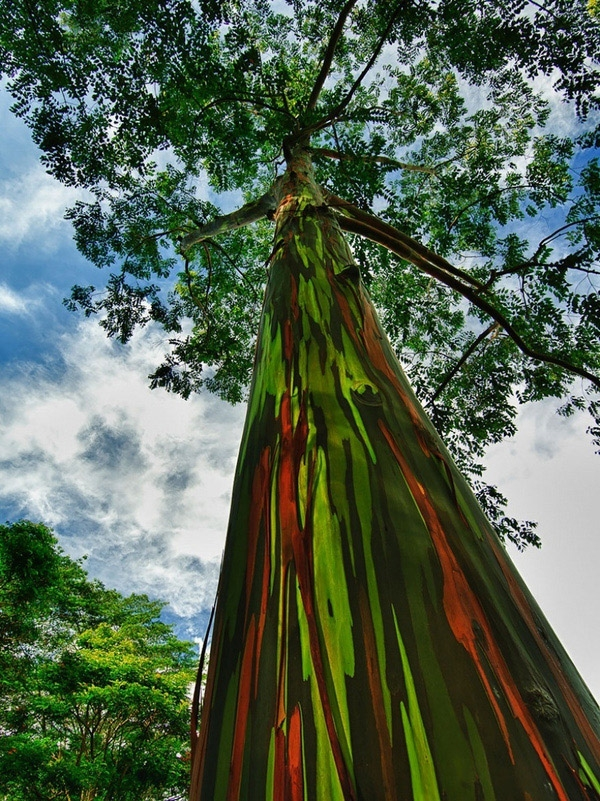 Cây bạch đàn 7 sắc trên đảo Kauai, Hawaii, này cứ sau mỗi lần thay vỏ lại xuất hiện lớp vỏ mớimàu xanh nhạt. Trong khiđó, lớp vỏ bên trong dần sẫm màu hơn để rồichuyển thành màu xanh da trời, cam và nâu tạo ra một thân cây có màu sắc vô cùng kì lạ, ngỡ như có ai đó đã sơn phết lên vậy.(Ảnh: Internet)
