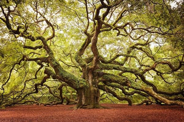 Cây cổ thụ này có chiều cao hơn 20 mét và tuổi thọ từ 400 đến 500 tuổi ở bang Nam Carolina.(Ảnh: Internet)